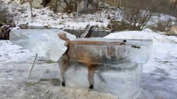 Ce renard a gelé après être tombé dans le