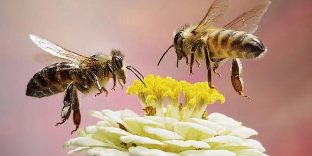 En plus des abeilles, 41% des espèces d'insectes sont en voie de disparition, un chiffre deux fois plus élevé que pour les vertébrés.
