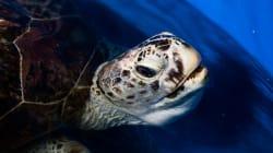 La tortue thaïlandaise aux 915 pièces de monnaie réapprend à
