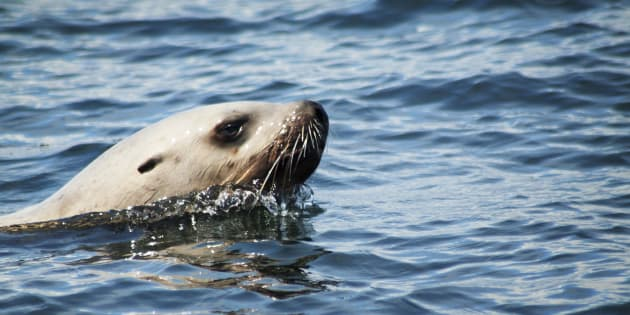 A sea lion swimming in Canadian waters.