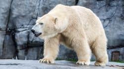 L'ours polaire ne trouve plus assez de phoques pour se