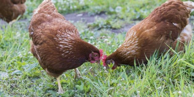Pour réduire les déchets, une mairie près de Lyon offre des couples de poules à 50 familles (photo d'illustration)