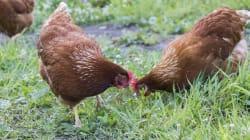Pour réduire les déchets, une mairie près de Lyon offre des couples de poules à 50