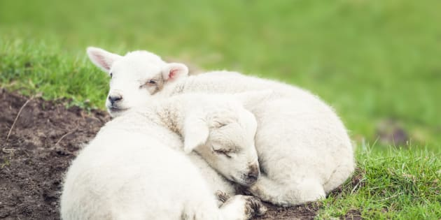 Two tired young lambs curled up and resting together.