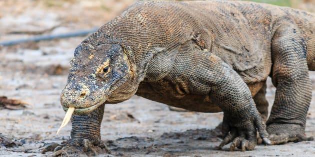 La bouche des dragons de Komodo contient de nombreuses bactéries dangereuses.