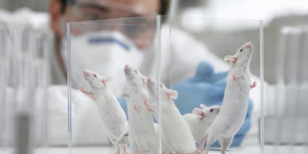 Les embryons créés par les chercheurs ne peuvent pas, pour le moment, devenir des foetus, et encore moins des bébés souris.
