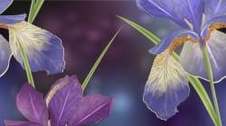 Un campo di iris