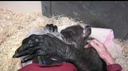 L'abbraccio tra lo scimpanzé, in punto di morte, e l'uomo che l'ha visto crescere vi farà ripensare al concetto di