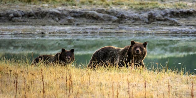 Grizzly bears in Yellowstone National Park, one of several World Heritage sites under threat from climate change.