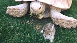 Tortoise Takes In Baby Bunny On Cold Night, Begins Beautiful