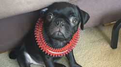 Egg The Pug's 'Owner' Has Been Charged With Making A False