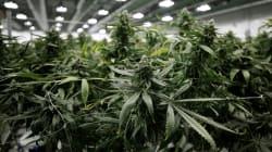 Marijuana: des avocats envisagent une action collective pour une