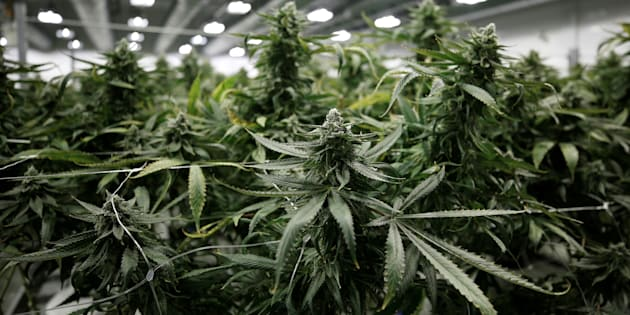 Flowering marijuana plants are pictured at the Canopy Growth Corporation facility in Smiths Falls, Ont., Jan. 4, 2018. After a massive run-up over the past several months, marijuana stocks have entered bear market territory.
