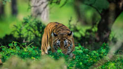 Tigress Sundari Accused Of Killing Two Locals And Attacking Journalist Who Went To Report On