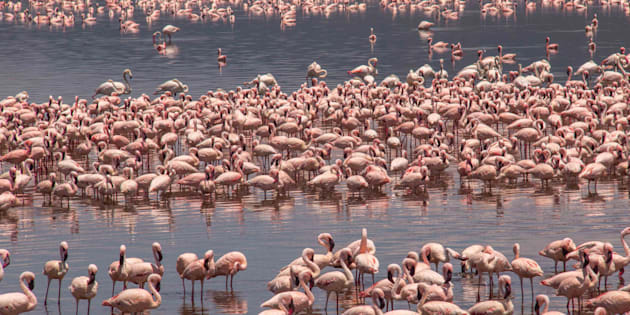 """At given periods, Lake Bogoria can house up to 1 million individuals."""
