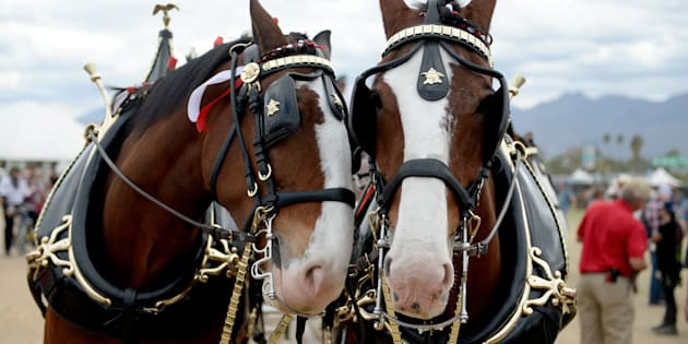 INDIO, CA - APRIL 30:  Budweiser Clydesdale horses are seen during 2016 Stagecoach California's Country Music Festival at Empire Polo Club on April 30, 2016 in Indio, California.  (Photo by Matt Cowan/Getty Images for Stagecoach)