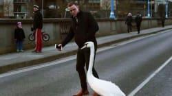 Il croise un cygne en pleine rue et l'aide à retrouver son milieu