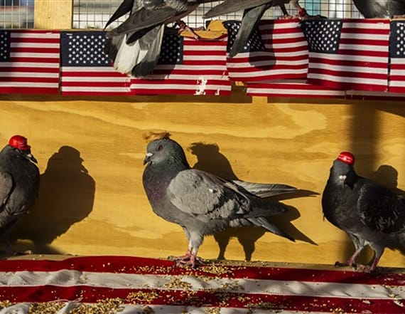 Pigeons wearing MAGA hats descend on Las Vegas