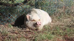 Pot-Bellied Pig Adopted From B.C. SPCA Killed For Food Weeks