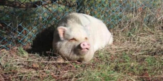 Nanaimo, B.C. resident Brandy Mckee shared this photo she says is of Molly, a potbellied pig that was killed weeks after being adopted from the B.C. SPCA.