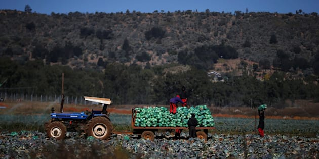Siphiwe Sibeko  Reuters                       Farm workers harvest cabbages at a farm in Eikenhof south of Johannesburg South Africa