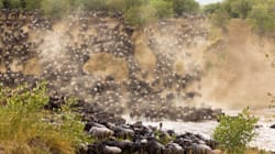 The Great Wildebeest Migration Will Stop, And Sooner Than We