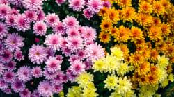 BLOG - Comment les chrysanthèmes sont devenus symboles de deuil en France (alors qu'ailleurs ils sont