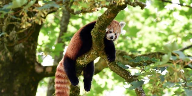 Un panda roux, une espèce comptant dorénavant moins de 10.000 représentants.