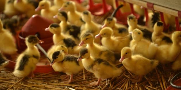 Des canetons dans une exploitation du Sud-Ouest de la France, où ont été découverts des foyers de grippe aviaire.