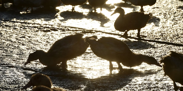 Ducks stand in a livestock farm in Bars, southwestern France, on December 5, 2017.