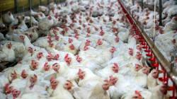 L'évolution spectaculaire du poulet en 60 ans témoigne de notre impact sur la