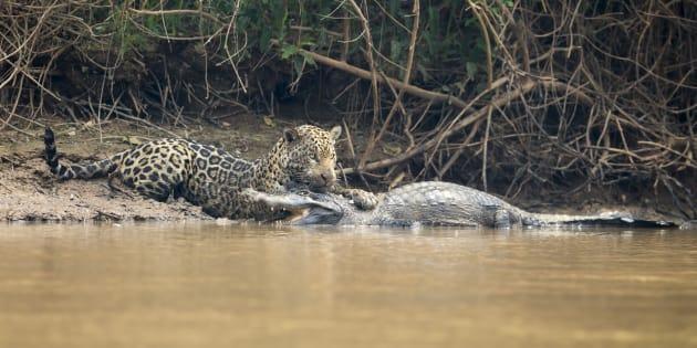 Ce jaguar n'a laissé aucune chance au caïman
