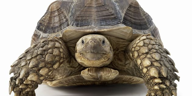 Front View of a Tortoise Against a White Background