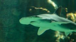 Ce requin ne mange pas que de la viande et du