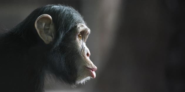60% des espèces de singes sont en danger d'extinction