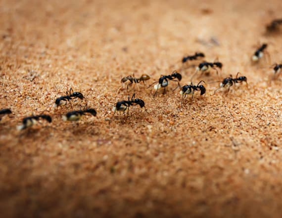 Researchers observe ants aiding injured comrades