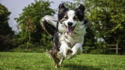 Une chienne est retrouvée en Suisse à 400 km de son