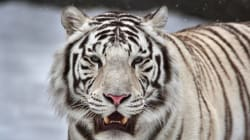 Un gardien de zoo tué par un tigre