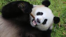 ¡Son gemelos! Haizi es la osa panda más vieja en parir en