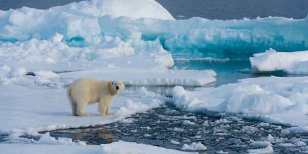A polar bear on the pack ice north of Svalbard, Norway.