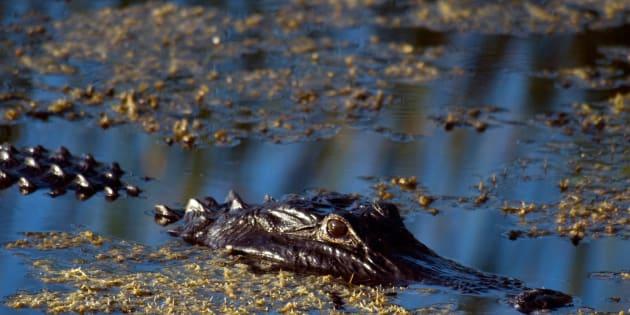 A boy has been taken by an alligator near Florida Disney.