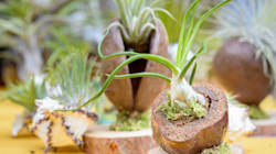 Plantas que não precisam de terra? Conheça as plantas aéreas e veja como usá-las na