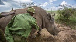 Tras la muerte de Sudán, Kenia castigará a cazadores furtivos con cadena