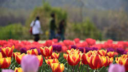 A 48 ore dall'inaugurazione, vandali devastano il parco dei tulipani di