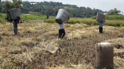 Los arroceros de Jojutla que resisten los estragos del terremoto y el