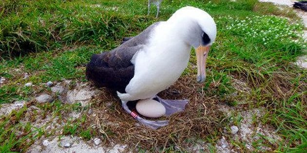 "Wisdom, a Laysan albatross, has plenty of experience with this whole ""hatching an egg"" thing."