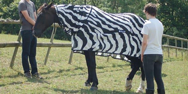 Des chevaux déguisés en zèbres pour une expérience scientifique.