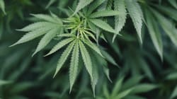 Le comité d'experts veut qu'on puisse se soigner au cannabis (mais pas en