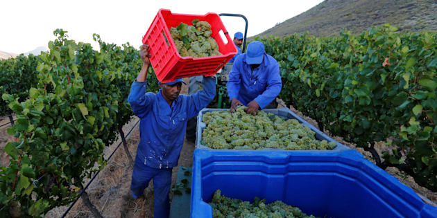 Workers harvest grapes at the La Motte wine farm in Franschhoek near Cape Town in this picture taken January 29 2016.