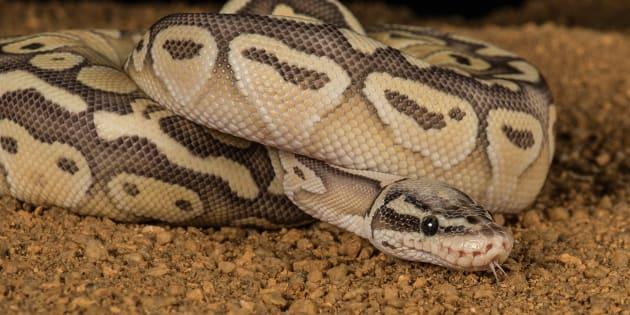A super pastel python.